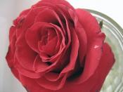 Я прислал вам эту розу...