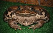 Большая жаба ага