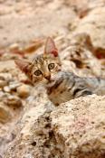 Котик дикий