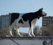 Коровий город (MOS (man on the street) Cow Первый встречный - корова)