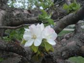 Цветы медовой яблони