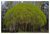 Кислотное дерево
