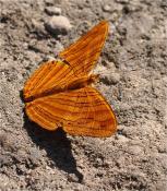 Лаосская бабочка