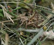 саранча в траве сидел)