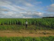 Кукуруза-недорослица