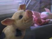 Подари свинке жизнь - прими ислам, иудаизм иль стань вегетарианцем!